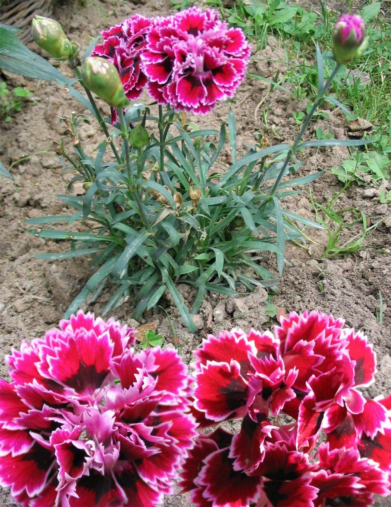 flores-cravos
