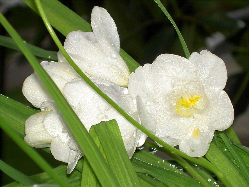 flores-fresias