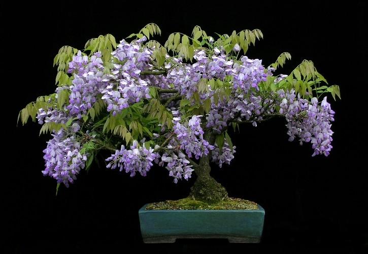 glicinia11 _wisteria_sinensis