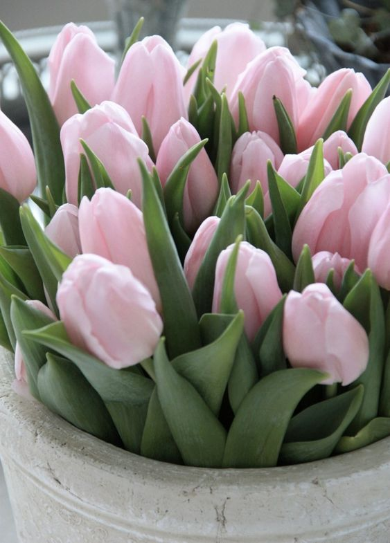 tulipas flor 66