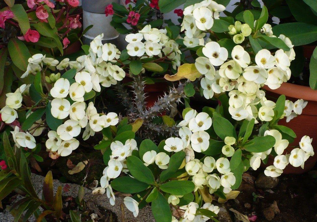 Colchões-de-noiva (Euphorbia)