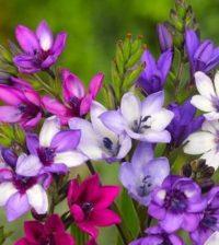 babiana flor 56