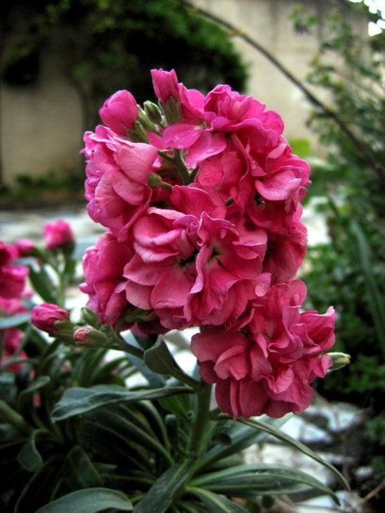 goivo cor de rosa