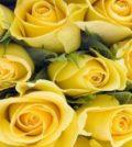 rosas 4521546665465465 400x470 1