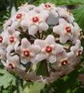 flor de cera 55
