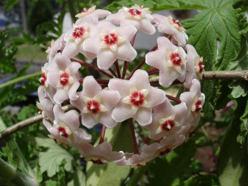 flor-de-cera-55