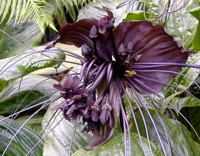 flor-morcego-45