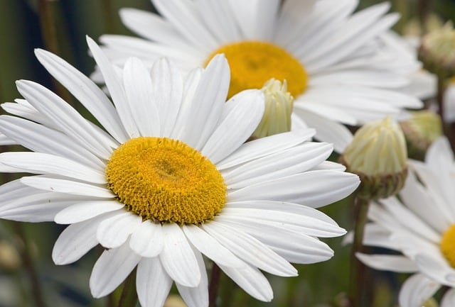 margarida flor 11