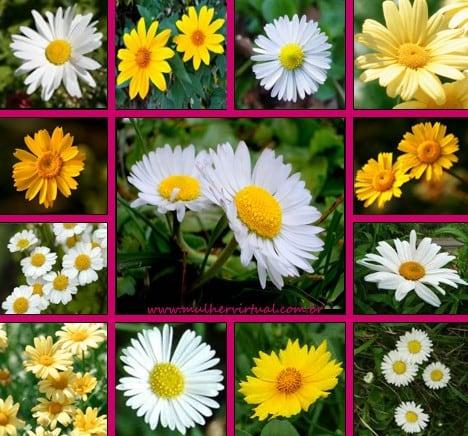 margarida flor foto 88 - Margaridas