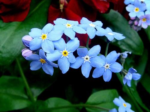 miosotis flor 22