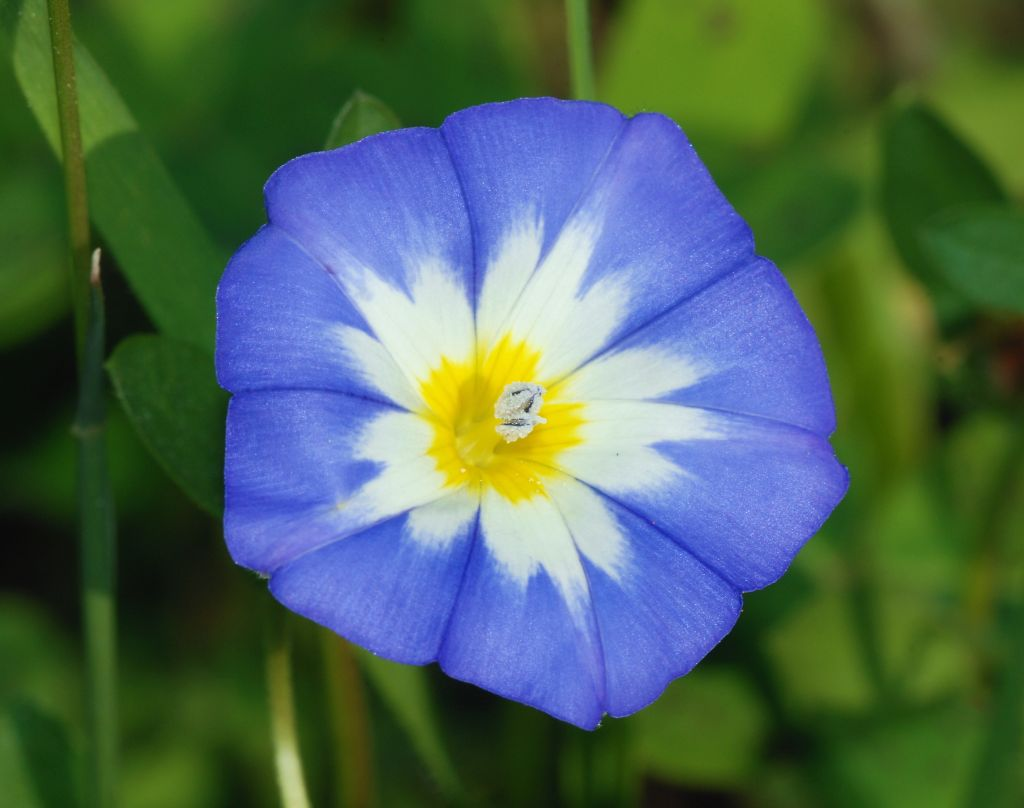 miosotis-flor-23