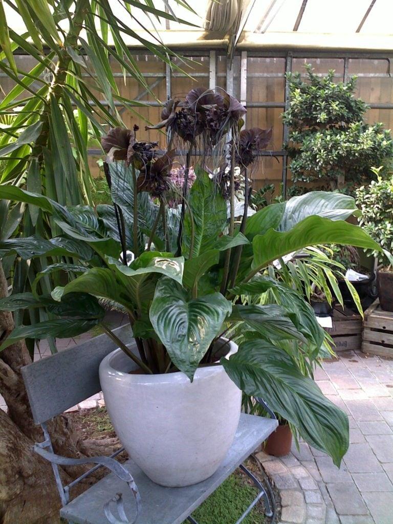 Flor Morcego - Tacca Chantrieri