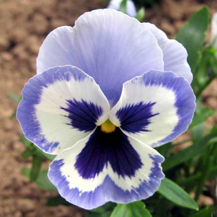 Resultado de imagem para amores perfeitos flores