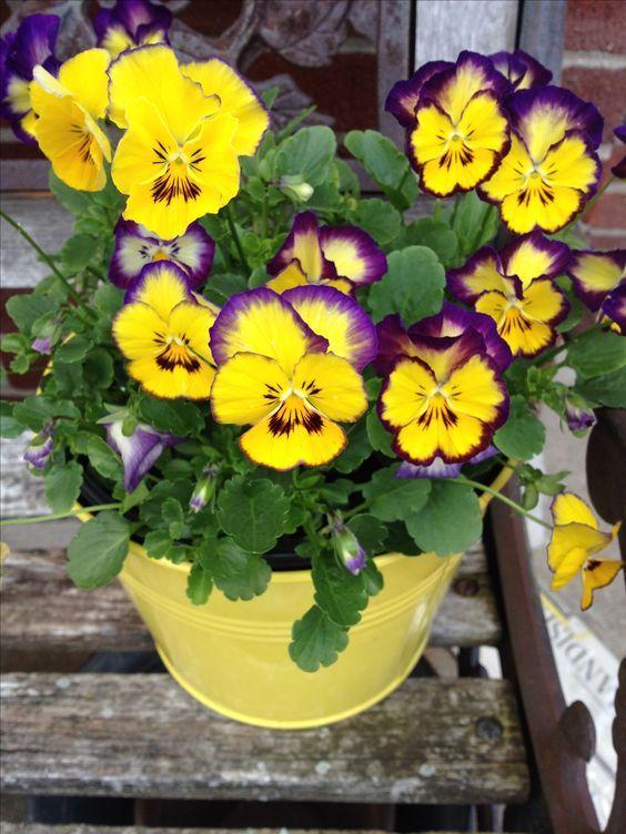 Flor Amor-perfeito (Viola tricolor)
