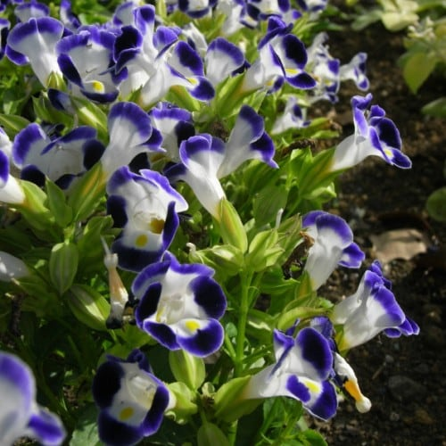 torenia-clown-blue-and-white2