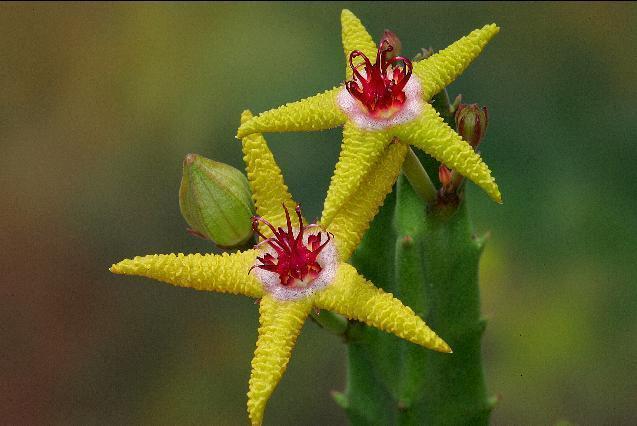 Flor da estrela do mar