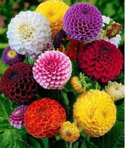 crisantemo-foto-43