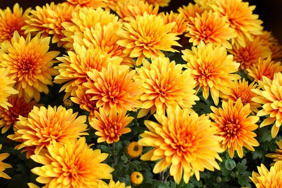 crisantemos flor 66