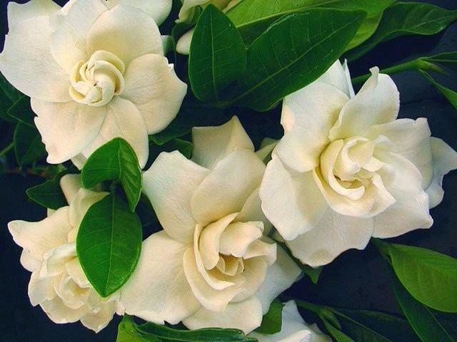gardenia foto 44