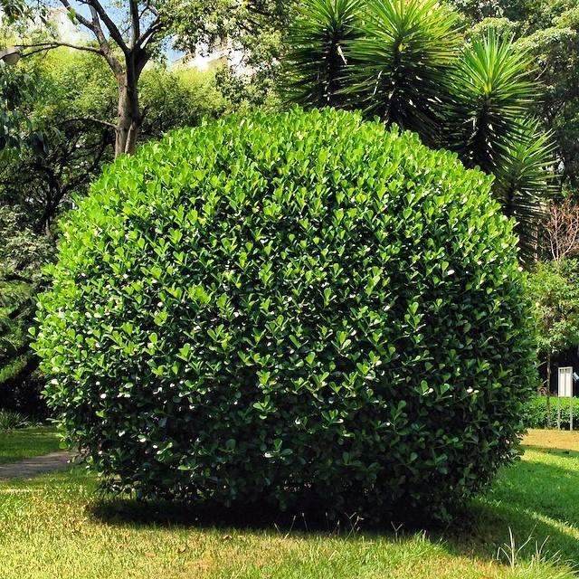 Clúsia fluminensis - Clúsias