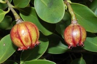 Clúsias - Clúsia fluminensis