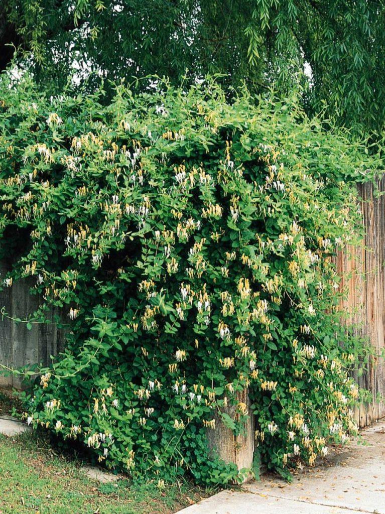 lonicera-japonica - Madressilva