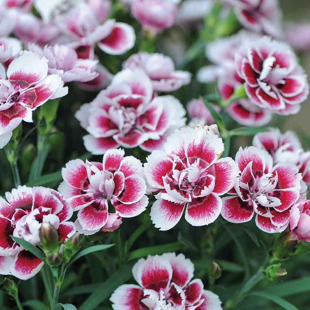 Dianthus chinensis - Cravina