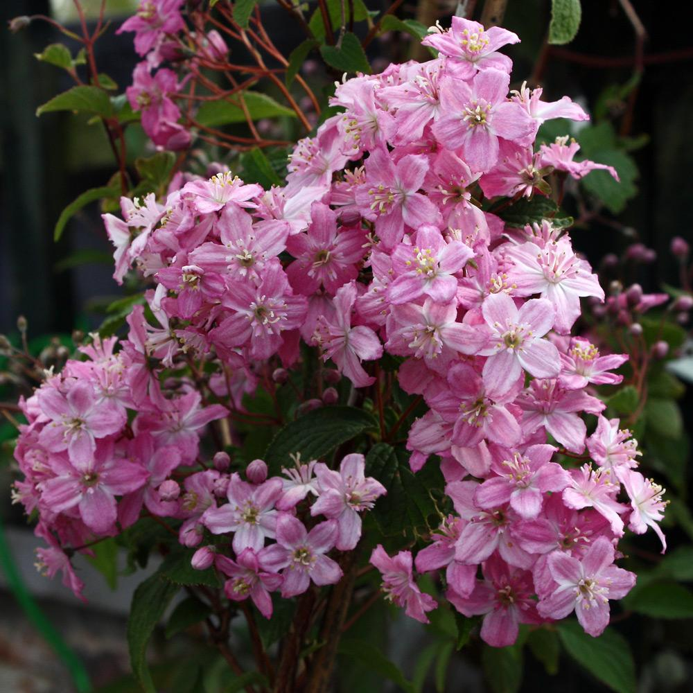 Deutzia - Família Hydrangeaceae