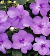 flores-beijo-de-frade-foto-55