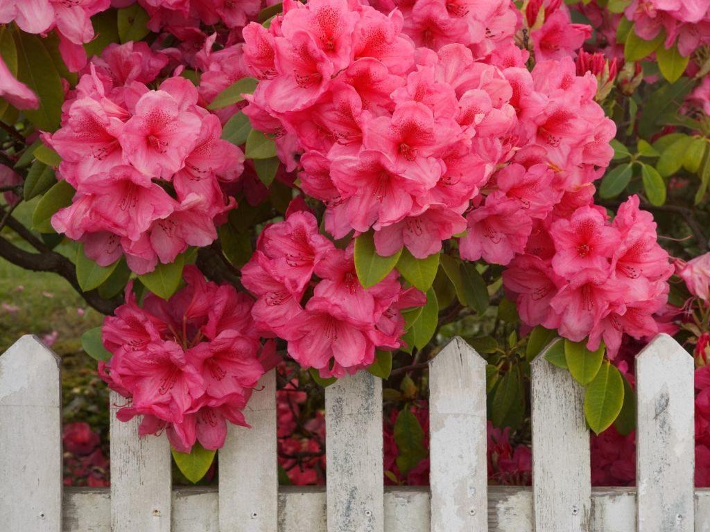 ericáceas - Rododendro