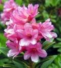 rododendro foto 78