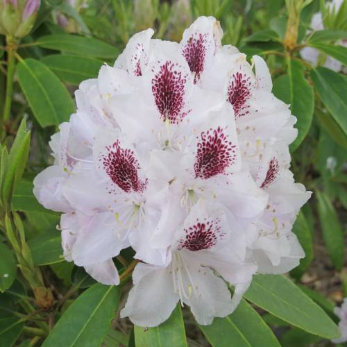 Rododendro - Família das ericáceas