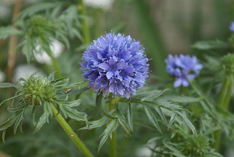 Gilia - Polemoniaceae