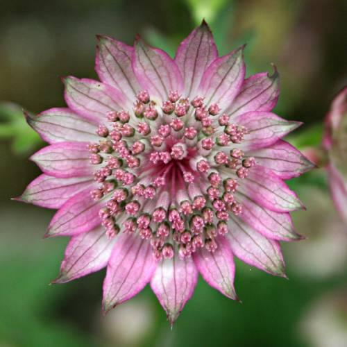 Apiaceae - Astrantia