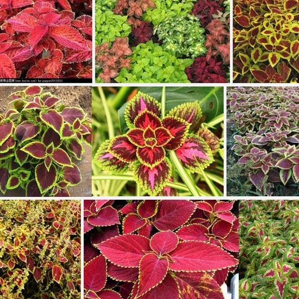 Coleus - Família Lamiaceae