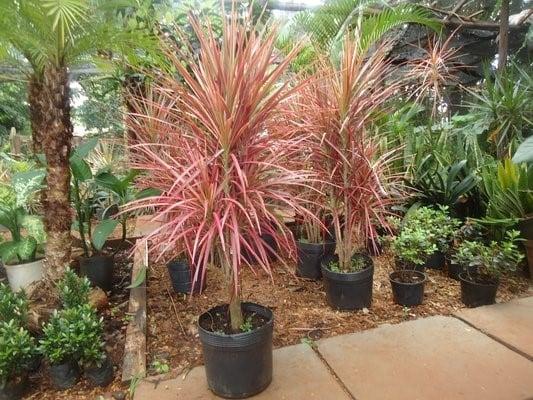 Planta Dracena de Madagáscar - Família Ruscaceae