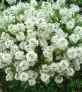 flor de mel 56