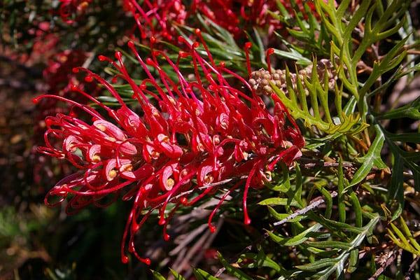 Flor Aranha (Grevillea banksii) - Família Proteaceae