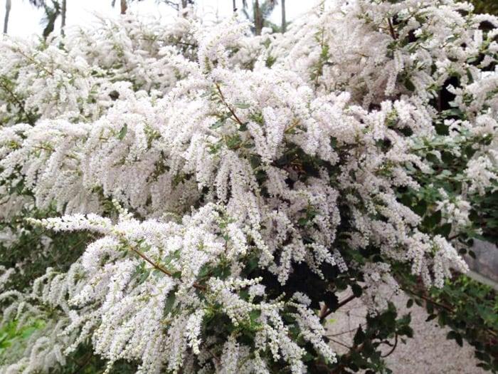 Pluma de Névoa - Família Lamiaceae
