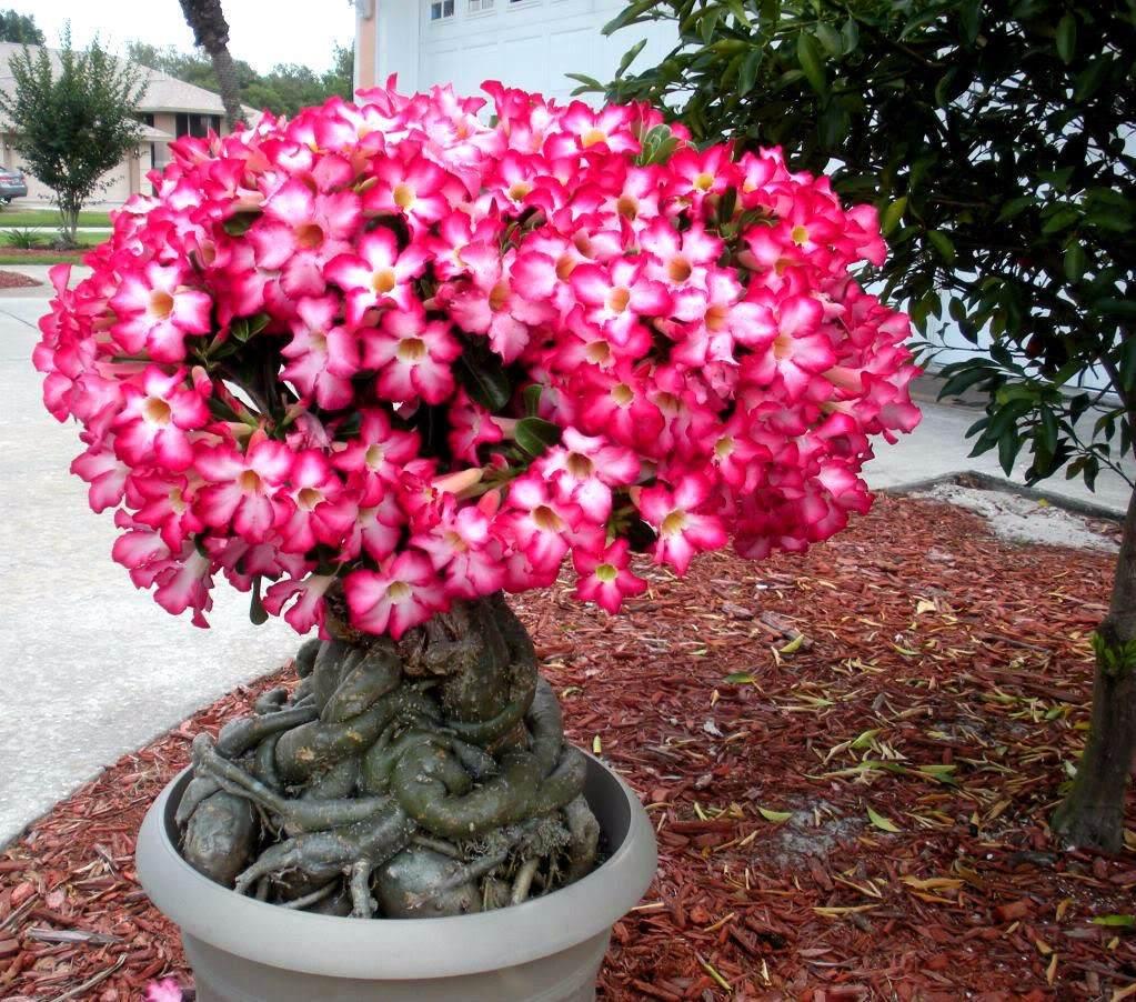 Rosa do Deserto - Família Apocynaceae