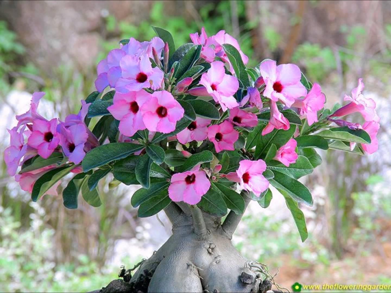 2016 Maxima Interior >> Rosa do Deserto - Família Apocynaceae | Blog das Flores