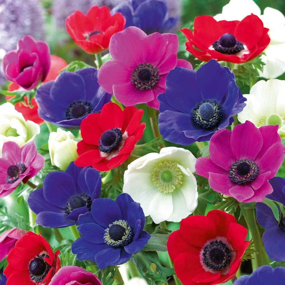 anemona flor f 56