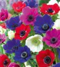 anemona-flor-f-56