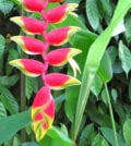 heliconia-foto-67
