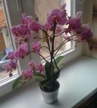 orquidea-phalaenopsis-foto-45
