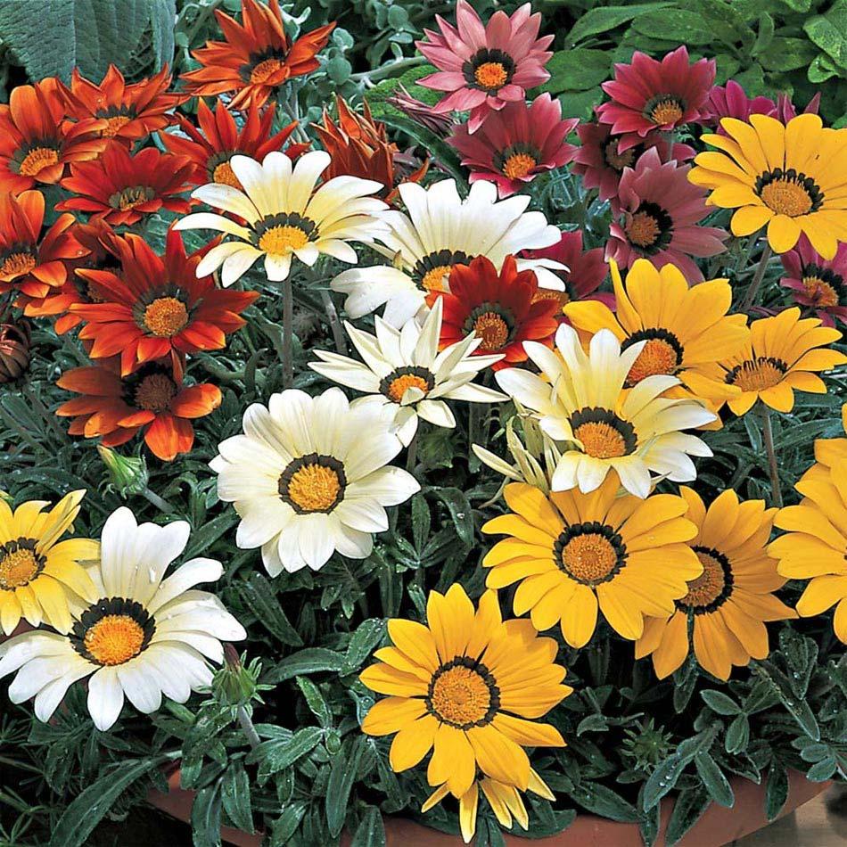 gazania flor 341 - Gazânias
