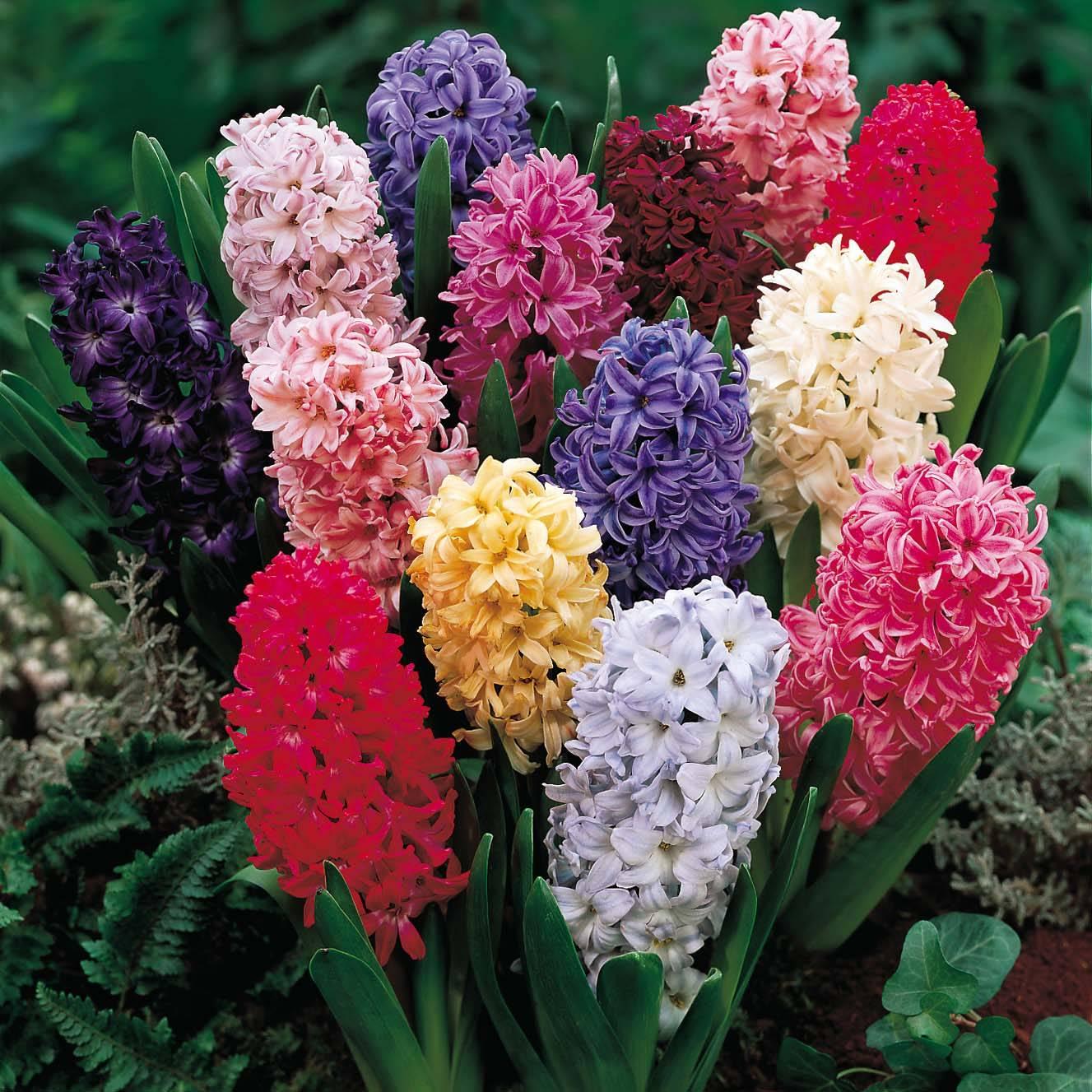 Jacintos fam lia hyacinthaceae blog das flores for Tipi di fiori