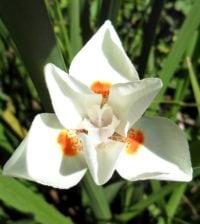 moreia bicolor foto 66