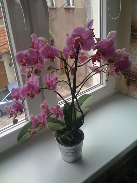 orquidea phalaenopsis foto 45