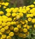 tanaceto flor f 88